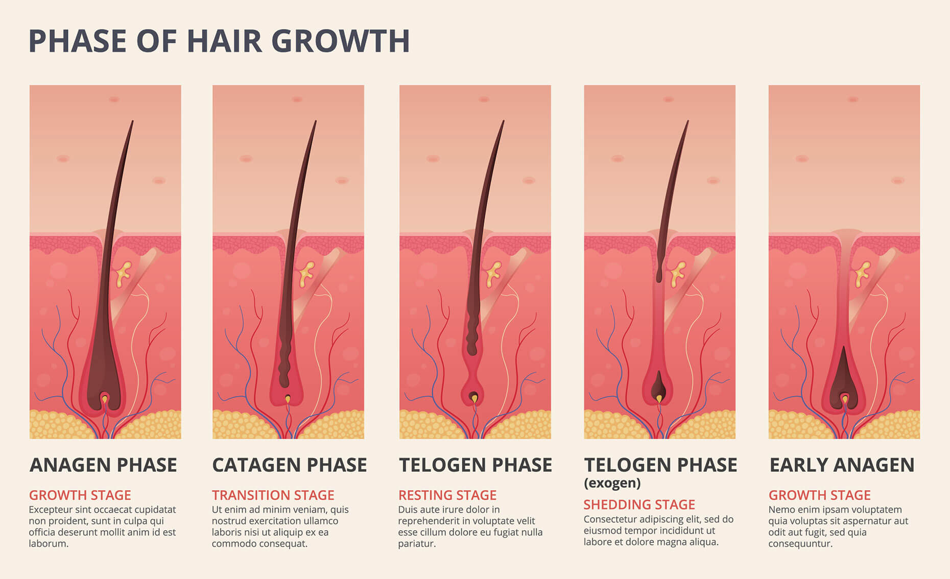 A diagram of the hair growth cycle, depicting the growing, transition, resting, and shedding phases