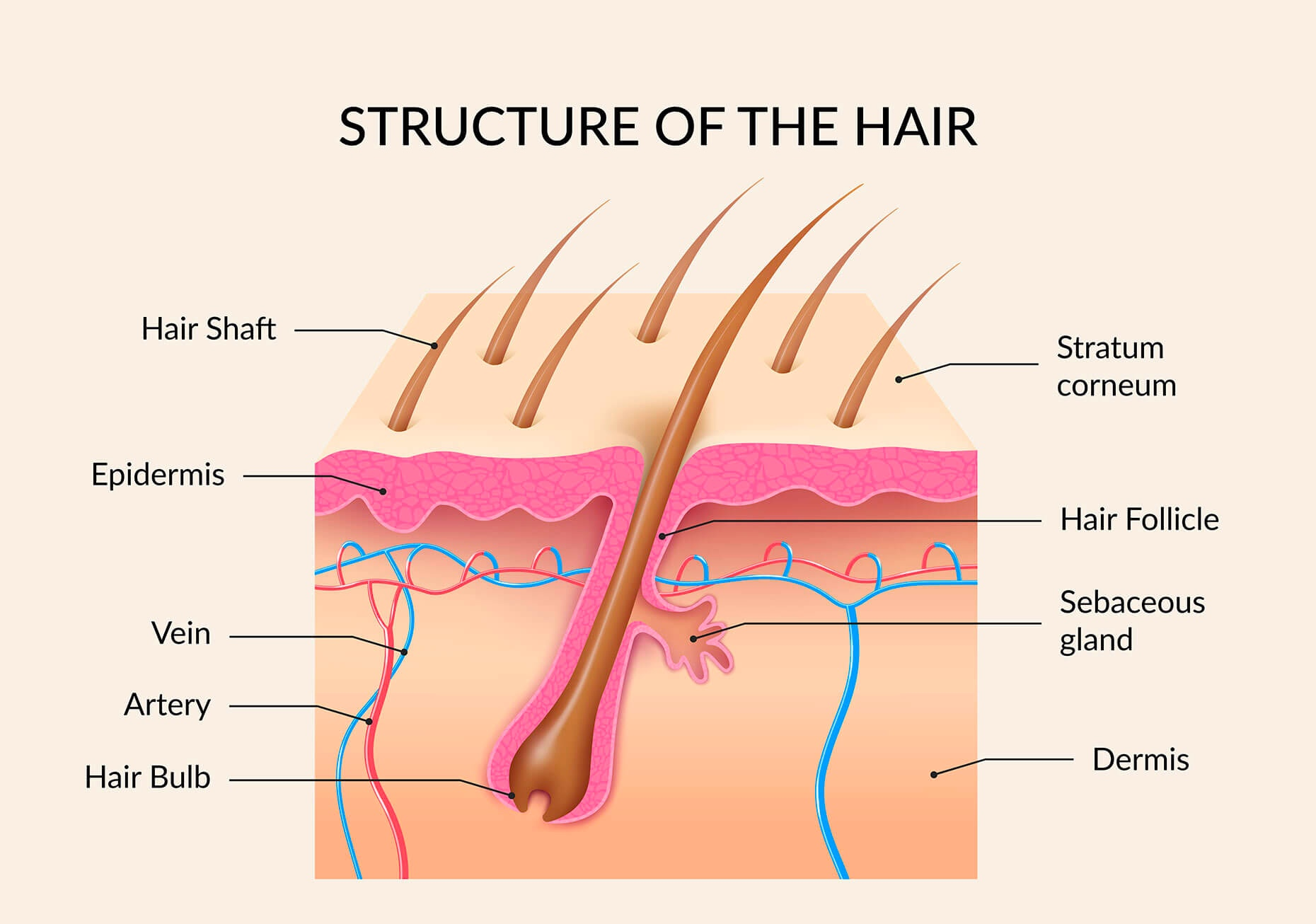 A diagram of the structure of hair, showing examples of the hair shafts, bulbs, and follicles, stratum corneum, epidermis, dermis, veins, arteries, and sebaceous glands.