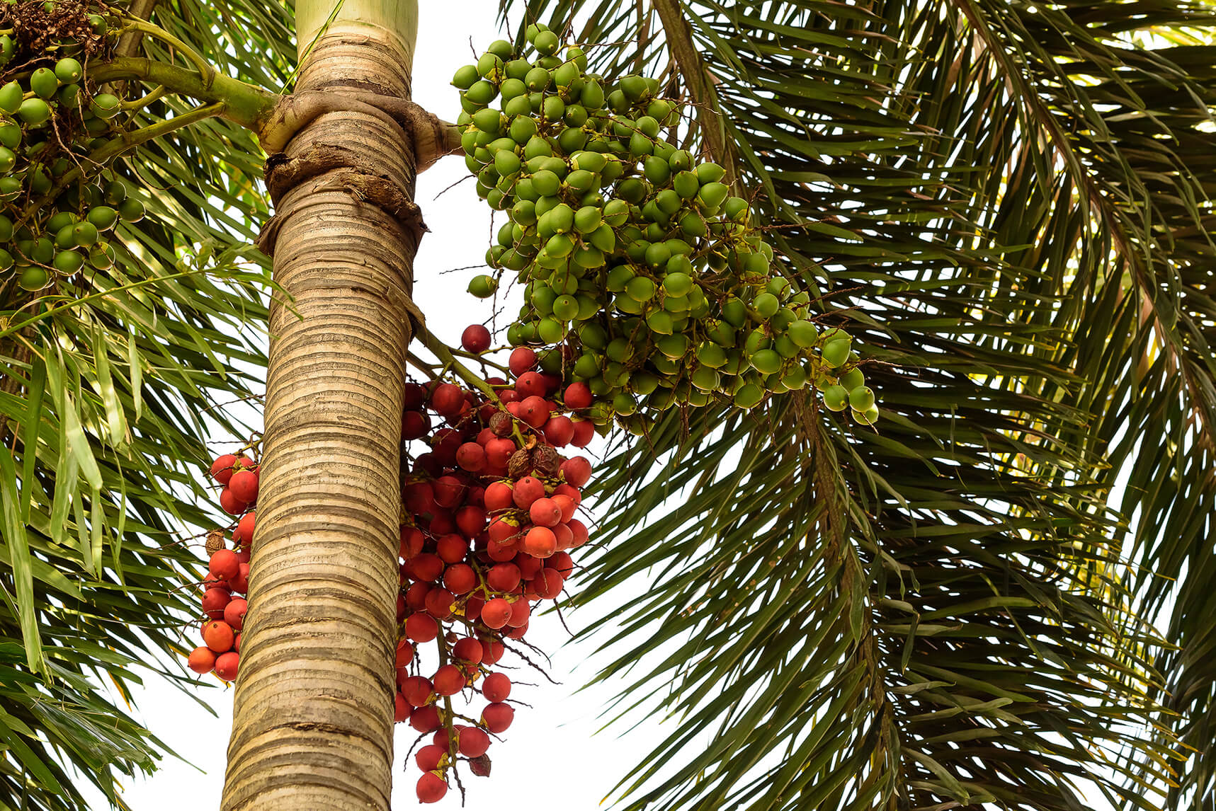 A saw palmetto plant with red, ripe berries and green, unripe berries.