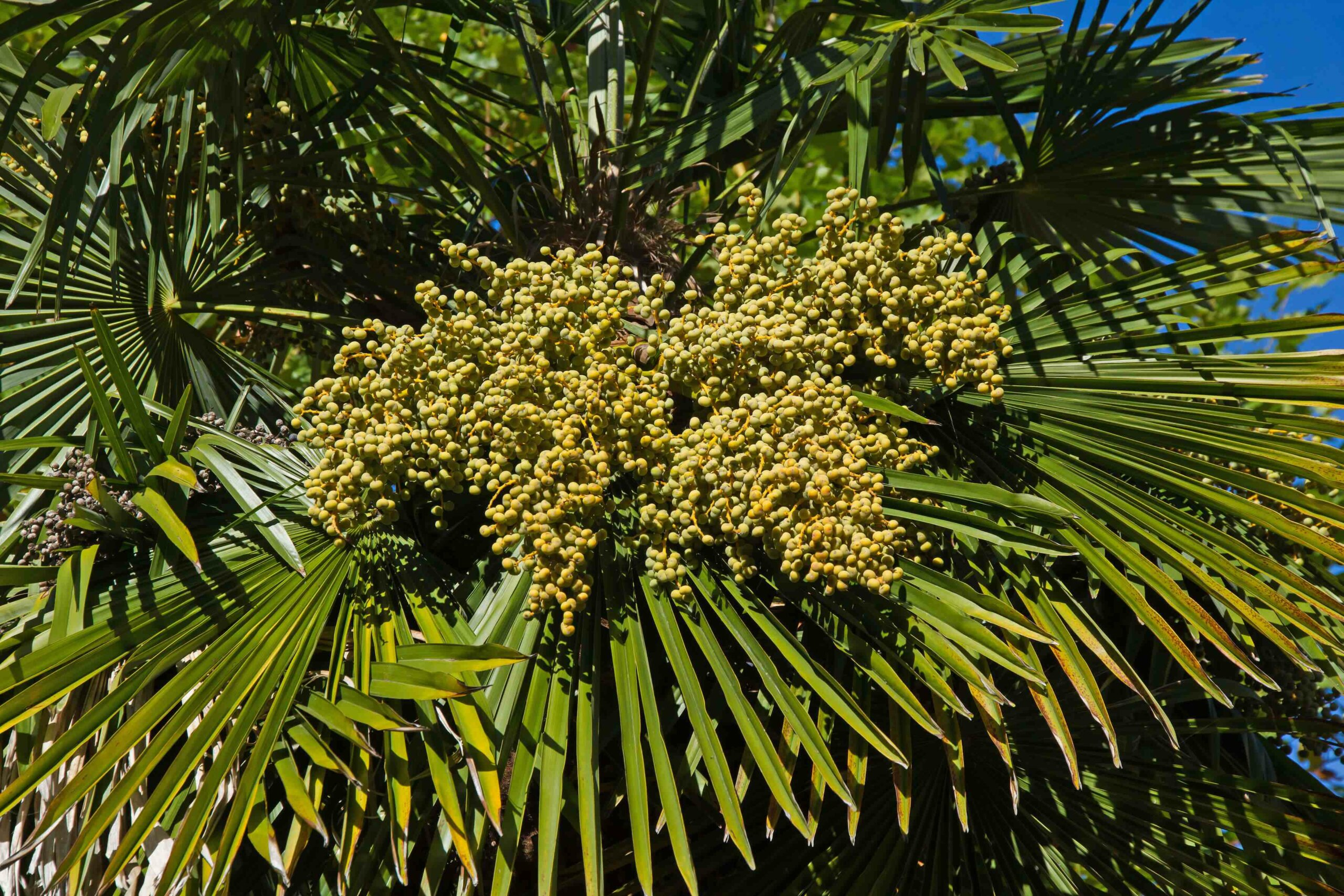 A close-up of the top of a saw palmetto tree, showing its leaves and berries.